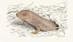 Adult_Pygmy_Bluetongue_Lizard_(Tiliqua_adelaidensis)_web_small