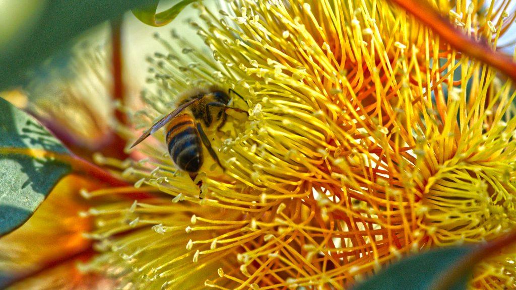 Flowering Gum in Orroroo, photo by Tim Froling